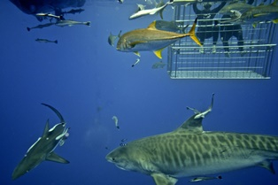 Shark Cage Diving no experience needed