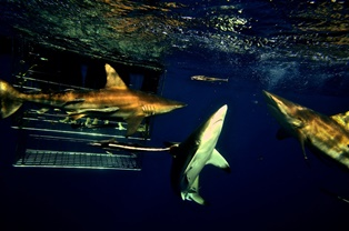rocky bay shark cage diving