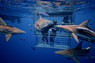 shark cage diving rocky bay